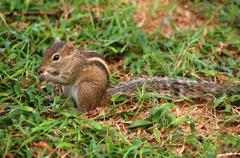striped palm squirrel - stock photo