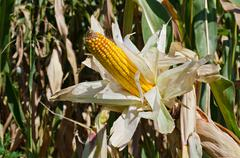Corn on the stalk in the field, horizontal shot Stock Photos