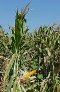 corn on the stalk in the field, vertical shot - stock photo