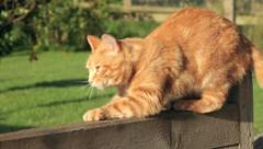 Cat scratches wooden fence then jumps off Stock Footage