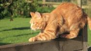 Stock Video Footage of cat scratches wooden fence then jumps off