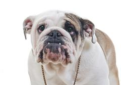 english bulldog wearing necklace standing over white background, eye contact - stock photo