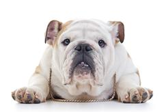 English bulldog wearing necklace laying over white background, eye contact Stock Photos