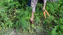 Senior woman grey head garden harvest natural carrots Stock Footage