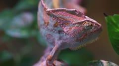 Chameleon (Chameleo Calyptratus) Eye - stock footage