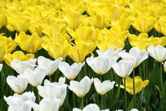 tulips background - stock photo
