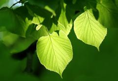 green foliage glowing in sunlight - stock photo