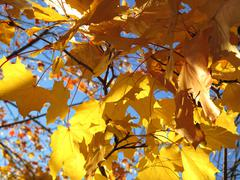 autumn leaves of maple tree - stock photo