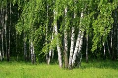 birch trees with young foliage - stock photo
