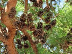 coniferous tree branch with cones - stock photo