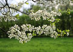 Branch of a blossoming tree Stock Photos