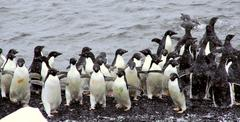 Flock of adelie penguins Stock Photos