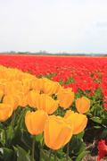Yellow and red tulips on a field Stock Photos