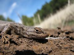 Fence lizard head Stock Photos