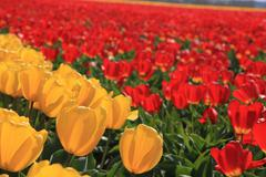 yellow and red tulips on a field - stock photo