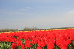 red tulips on a field - stock photo