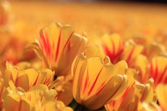 Stock Photo of yellow tulips with a touch of red