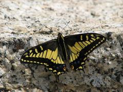 anise swallowtail butterfly - stock photo