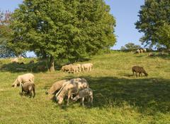 grazing sheep in sunny ambiance - stock photo