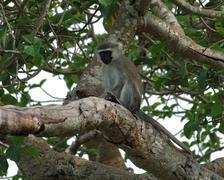 Vervet monkey sitting on a bough Stock Photos