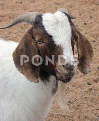 Stock photo of goat portrait