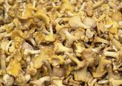 Chanterelles background Stock Photos