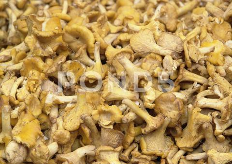 Stock photo of chanterelles background