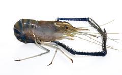 Giant freshwater prawn Stock Photos