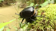 Male Rhinoceros Beetles Stock Footage
