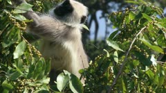 Presbytis monkey eating fruits on tree Stock Footage