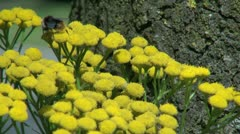 Netherlands yellow flower bunch and bee Stock Footage