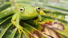 Rough skinned green treefrog (Hypsiboas cinerascens) Stock Footage