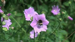 Netherlands bee walks in a circle on purple flower Stock Footage