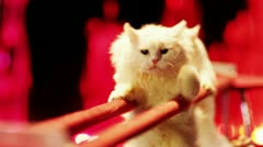 Two white cats are making stunts in the circus. - stock footage