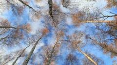 Looking up in a birch trees. Real time. Low angle shot. - stock footage