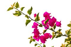 Bougainvillea branch isolated on white background Stock Photos