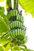 young banana - stock photo