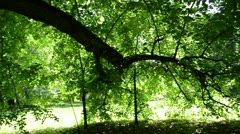 View old lime tree branches many green leaf beautiful sunlight Stock Footage
