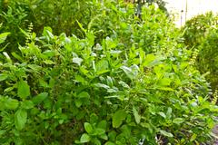 Stock Photo of green basil tree for cooking