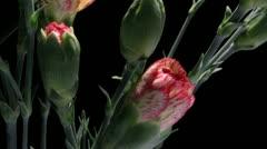 Orange Carnation Time-lapse Stock Footage