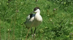 Pied Avocet (Recurvirostra avosetta) Stock Footage