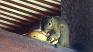 Stock Video Footage of Squirrel eating banana close up
