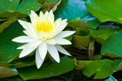 yellow lotus - stock photo