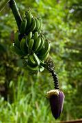 green bananas growing on tree - stock photo