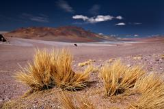 Altiplano grass paja brava close to salar aguas calientes and cerro losloyo,  Stock Photos