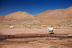 Lamas in atacama desert, chile Stock Photos