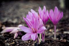 closeup of purple autumn crocus - stock photo