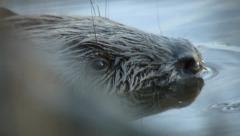 Beaver 1 - stock footage