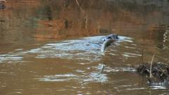 beaver 11 - stock footage