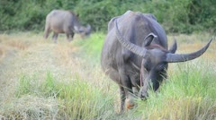 Asia buffalo eating grass in country farm of thailand Southeast asia Stock Footage